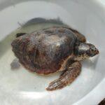 tartaruga (4)